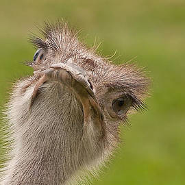 Curious Ostrich by John Black