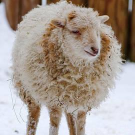 Andrew  Michael - Cute Lamb