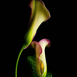 Joan McCool - Dance of the Calla Lilies II