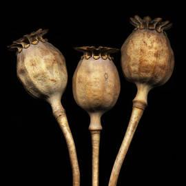 Dried Poppy Pods by David Kleinsasser