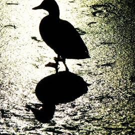 Michael Garyet - Duck Silhouette