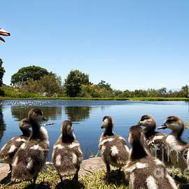 Fabrizio Troiani - Egyptian geese