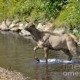 Nava Thompson - Elk in Stream RMNP
