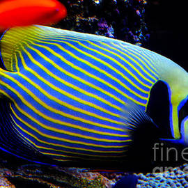 Emperor Angelfish by Pravine Chester