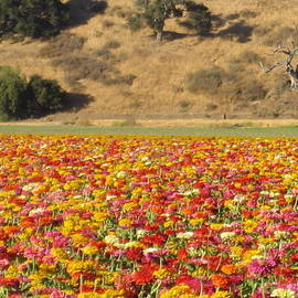Field Of Flowers  Solvang California by John Shiron
