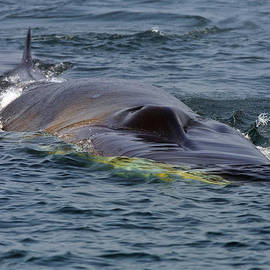 Tony Beck - Fin Whale Charging