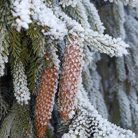 Matthias Hauser - Fir cones in winter
