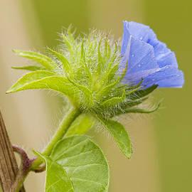 Bonnie Barry - Flowering Wild Vine