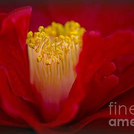Folds of Red by Jacky Parker