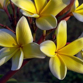Fragrant Plumeria Flowers by Sally Weigand