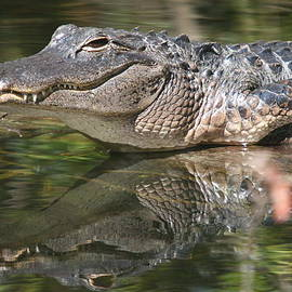 Smiling Alligator Reflection by Ian Mcadie