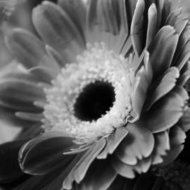 Bruce Bley - Gerber Daisy in Black and White 1