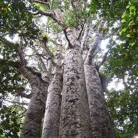 Giant Kauri Grove by Peter Mooyman