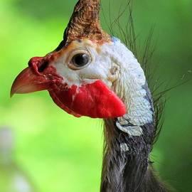 Lori Pessin Lafargue - Ginny the Guinea Hen