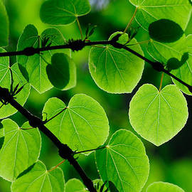 Hegde Photos - Glowing Heart Shaped Leaves
