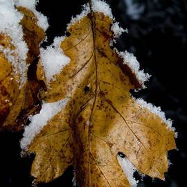 Golden Leaf by Bill Gallagher