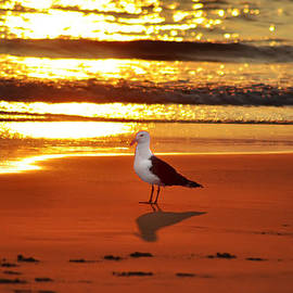 Bill Cannon - Golden Sunrise Seagull