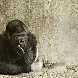 Gorilla In Thought by Melany Sarafis