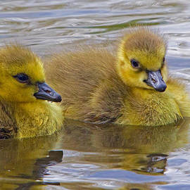 Goslings by David Freuthal