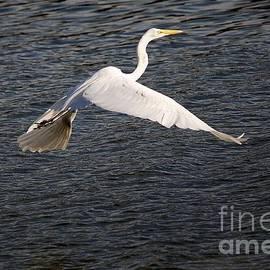 Roy Williams - Great White Egret Flight Series - 10