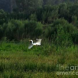 Great White Egret In Flight by John Black