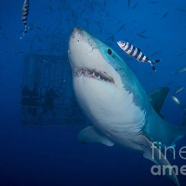 Great White Shark And Pilot Fish by Todd Winner