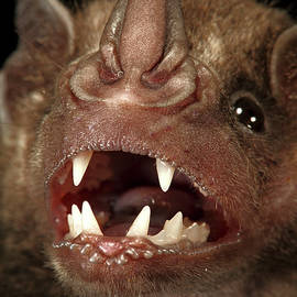 Christian Ziegler - Greater Spear-nosed Bat Phyllostomus