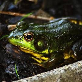 Green Frog - Rana Clamitans by Scott Hovind