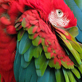 Green-winged Macaws by Frank Townsley