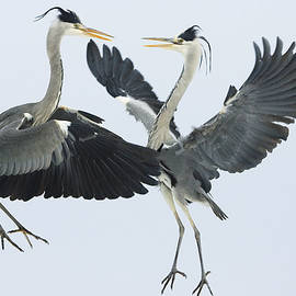 Grey Heron Ardea Cinerea Pair Fighting by Konrad Wothe