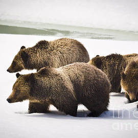 Mike Cavaroc - Grizzly Bear 399 and Three Cubs 2008