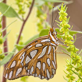 Bonnie Barry - Gulf Fritillary Butterfly