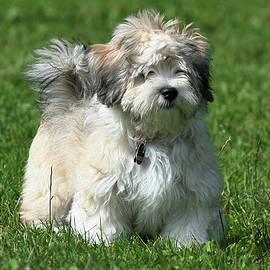 Havanese Puppy Of 16 Weeks!