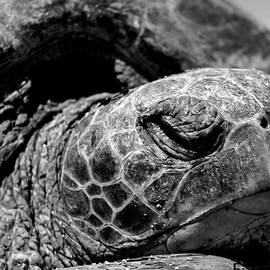 Elizabeth  Doran - Hawaiian Basking Turtle