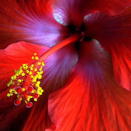 Hibiscus  by Andrea Kollo