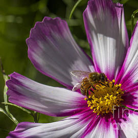 Honey Bee On Candy Stripe Cosmos by Clare Bambers
