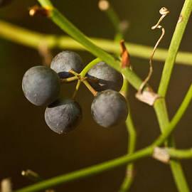 Douglas Barnett - Honeysuckle Fruit 1
