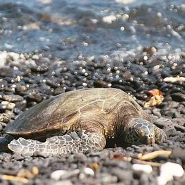Honu on Lava Rock taking a Nap by Maili Page