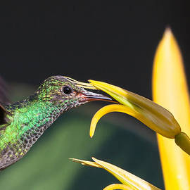 Hummingbird feeding by Craig Lapsley
