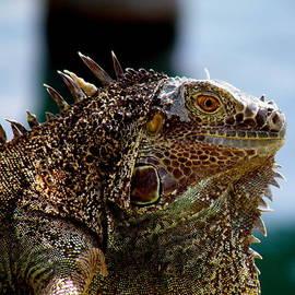 Jiayin Ma - Iguana at Grand Cayman Island