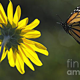 Incoming Monarch by Bob Christopher