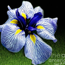 Japanese Iris Ensata - Botanical wall art