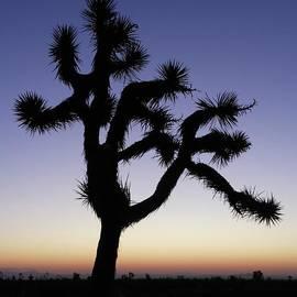 Joshua Tree At Dawn by Don Kreuter