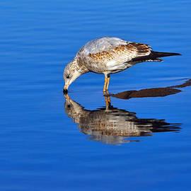 Tony Beck - Juvenile Ring-billed Gull