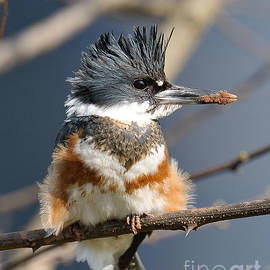 Kingfisher by Craig Leaper