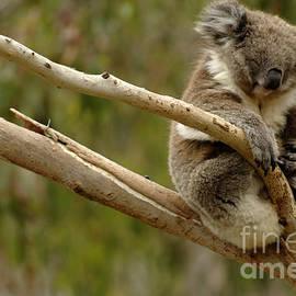 Bob Christopher - Koala At Work