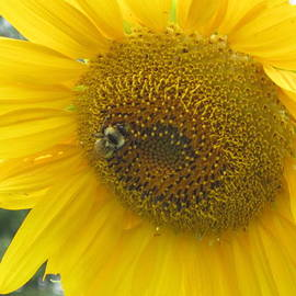 Bee On Sunflower  by Jeffrey Koss