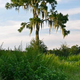 Lone Pine Tree by Carol  Bradley