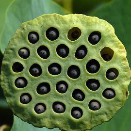 Lotus Capsule-missing Children Dl054 by Gerry Gantt