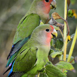 Saija  Lehtonen - Lovebird Couple